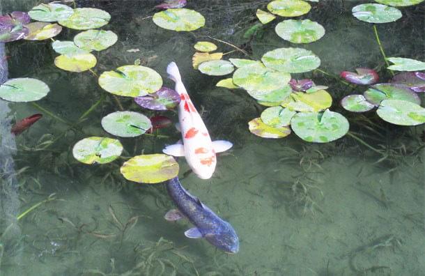 モネの池の鯉